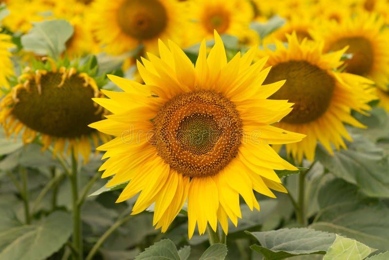 Flor nova do girassol no campo Instantâneo sem retoque foto de stock