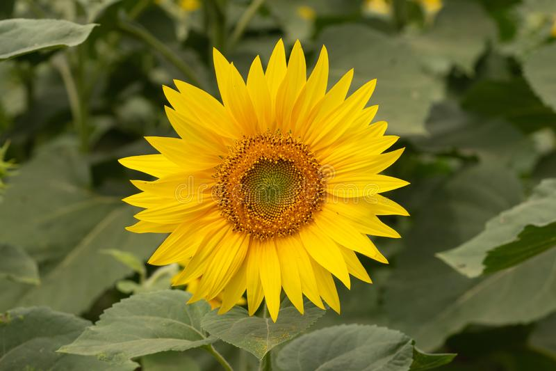 Flor nova do girassol no campo Instantâneo sem retoque fotografia de stock