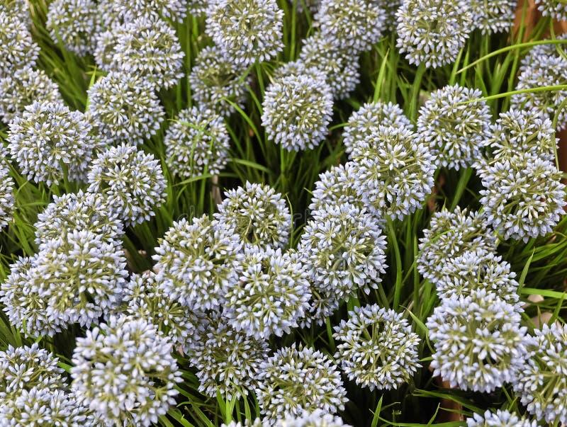 Flor o allium gigante artificial azul Giganteum de la cebolla imágenes de archivo libres de regalías