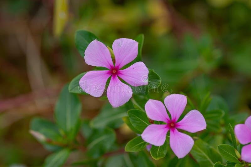 Flor o bígaro rosada de Madagascar en fondo verde imagen de archivo libre de regalías