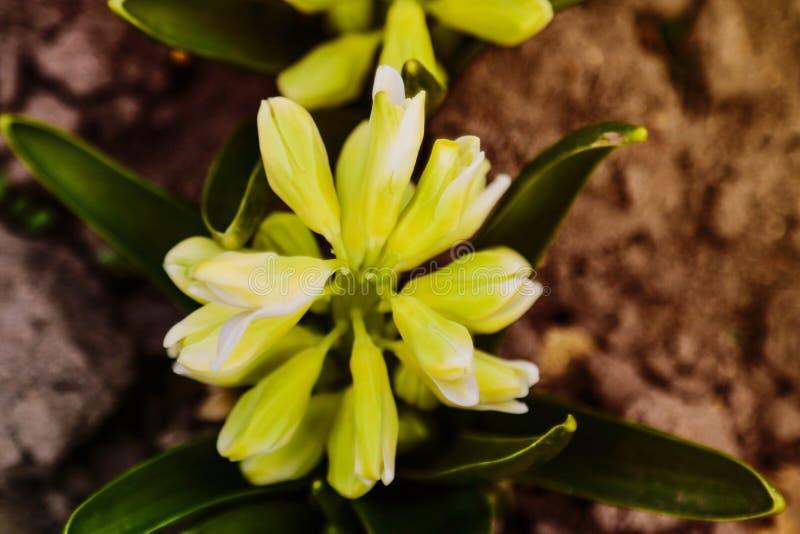 Flor o hyacinthus amarilla clara del jacinto en cierre del jardín de la primavera para arriba Jacintos fragantes en colores paste foto de archivo
