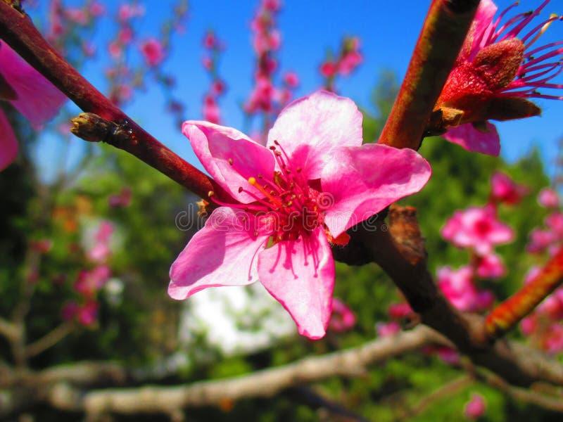 Flor o Prunus Persica del melocotón imagenes de archivo