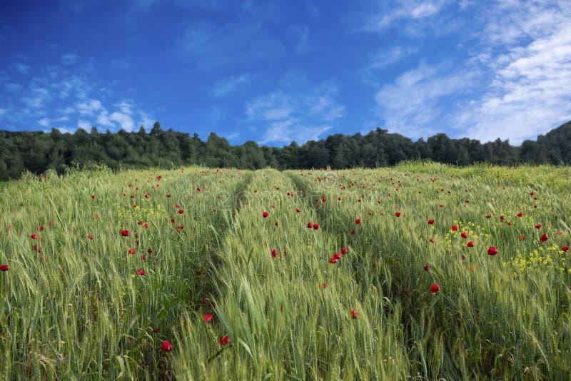 A flor ou as papoilas vermelhas da papoila colocam e céu azul imagem de stock royalty free