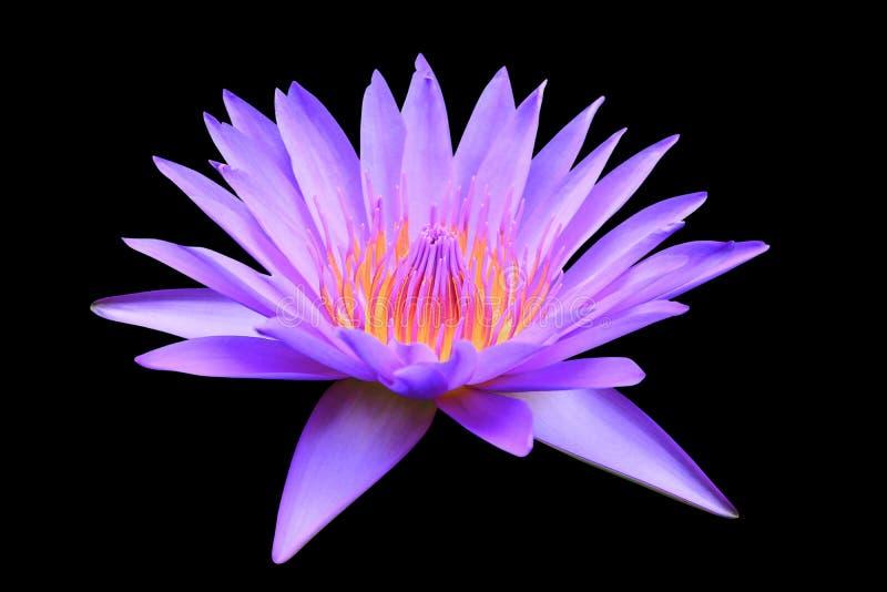 Flor ou lilly rosa de Lotus bonita com o trajeto de grampeamento isolado no trajeto preto do fundo e de grampeamento fotografia de stock royalty free