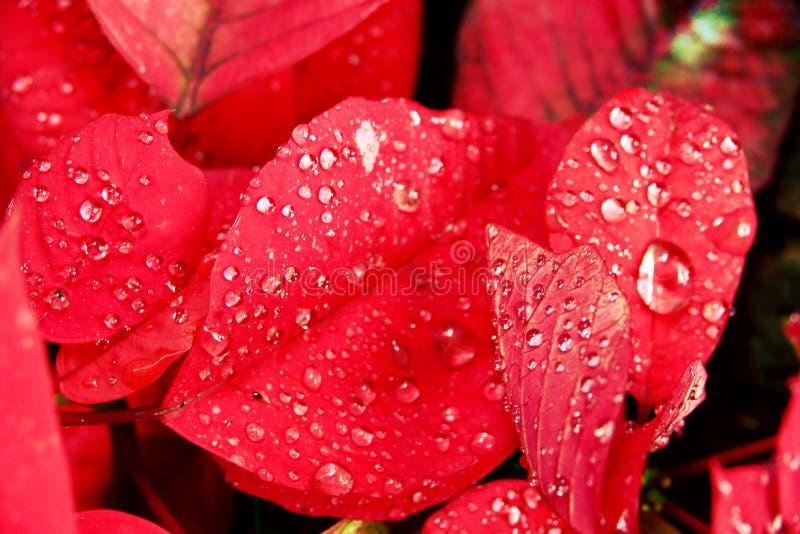Flor ou poinsétia do Natal com gota após a chuva, fim acima das folhas vermelhas florais no jardim foto de stock royalty free