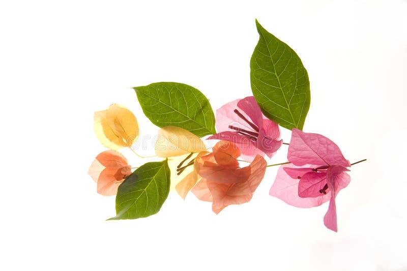 Flor - pétalos y hojas del Bougainvillea fotos de archivo