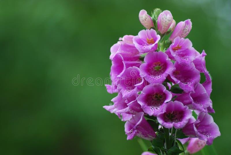 Flor púrpura foto de archivo