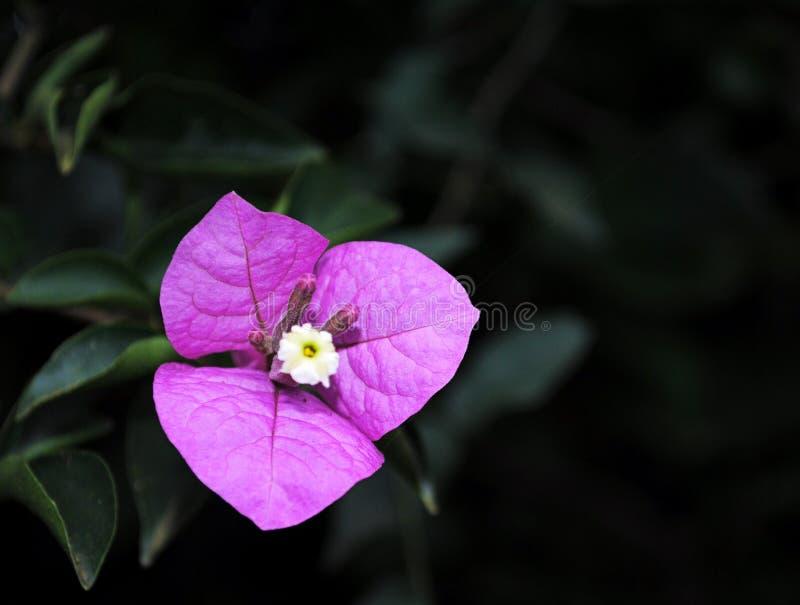 Flor púrpura aislada foto de archivo
