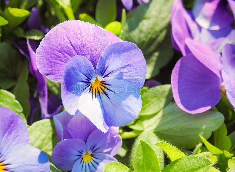 Flor púrpura azul hermosa en el jardín fotos de archivo libres de regalías
