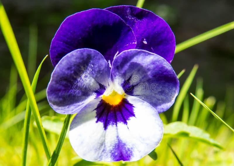 Flor púrpura/blanca hermosa en la luz del sol brillante imagen de archivo libre de regalías