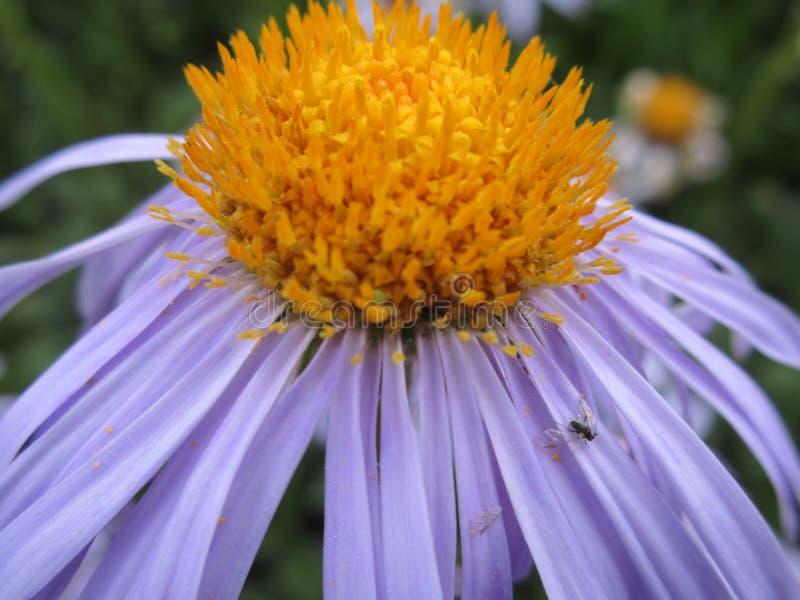 Flor púrpura de Daisey foto de archivo