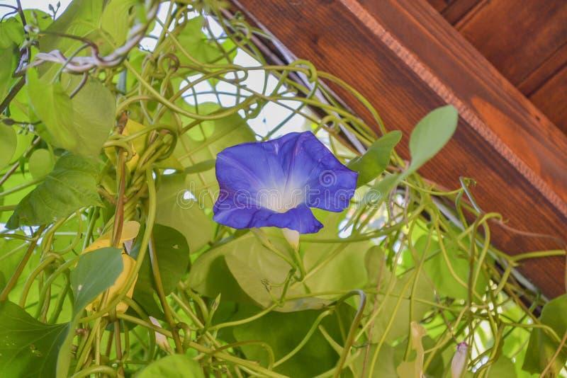 Flor p?rpura de la correhuela con las hojas azules imagenes de archivo