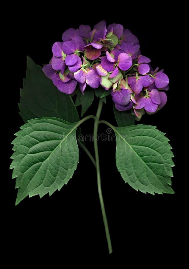 Flor púrpura de la hortensia aislado en negro fotos de archivo