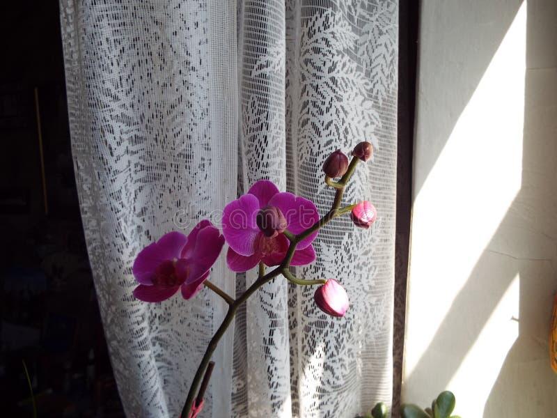 Flor púrpura de la orquídea a la una contra un fondo blanco de Tulle imagenes de archivo