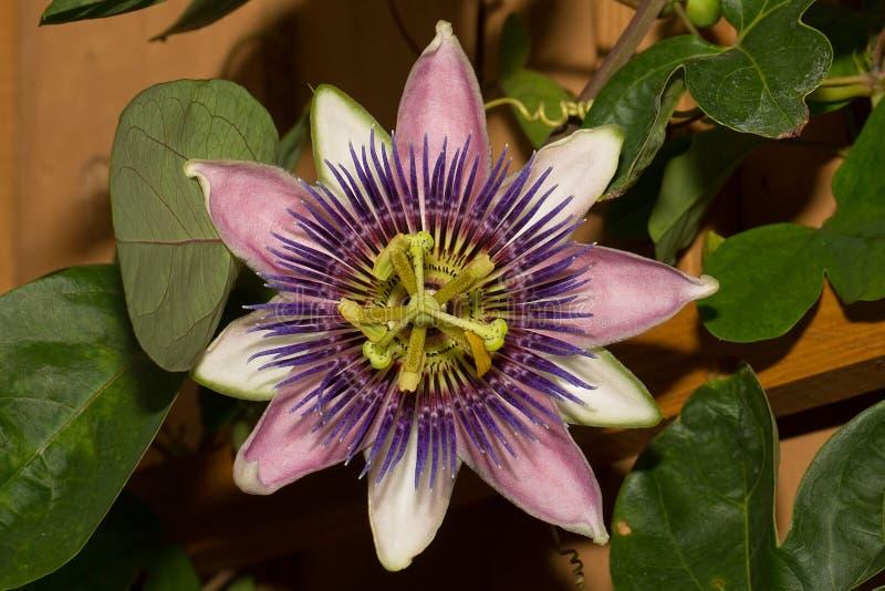 Flor púrpura de la pasión fotos de archivo libres de regalías