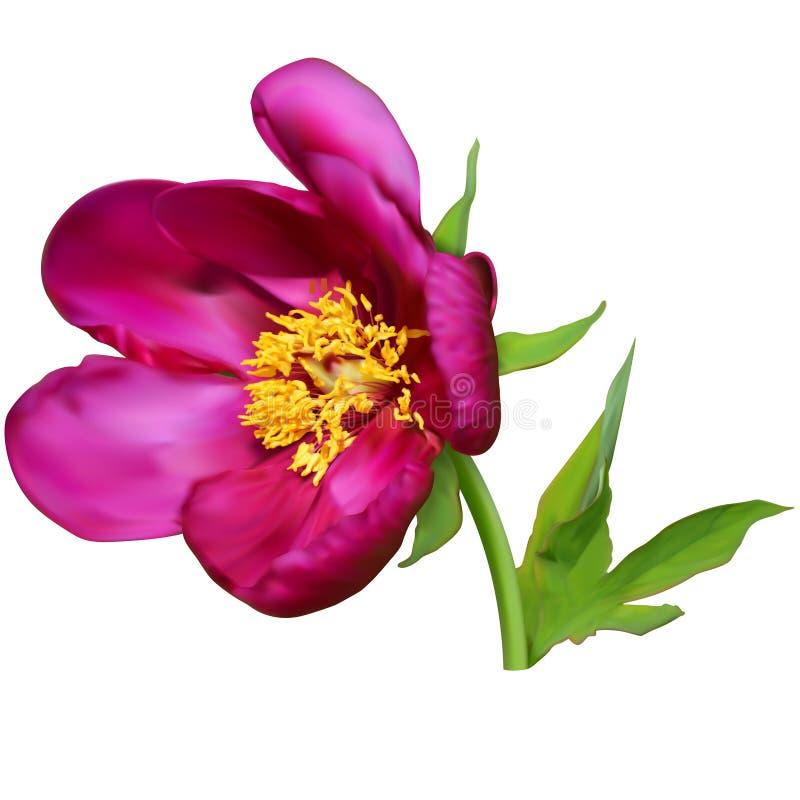 Flor púrpura de la peonía stock de ilustración