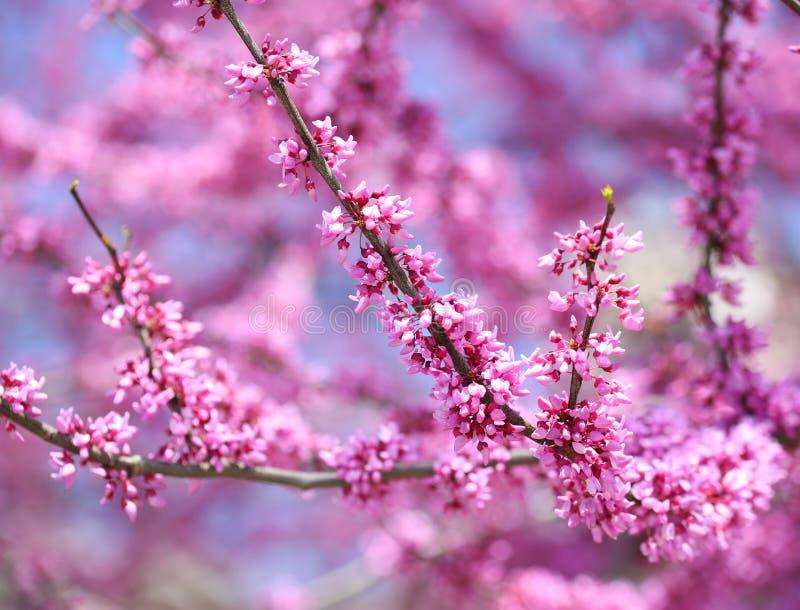 Flor púrpura de la primavera. Cercis Canadensis o Redbud del este imágenes de archivo libres de regalías