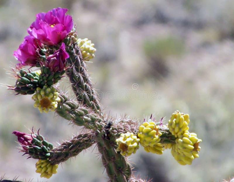 Flor púrpura del cacto fotografía de archivo