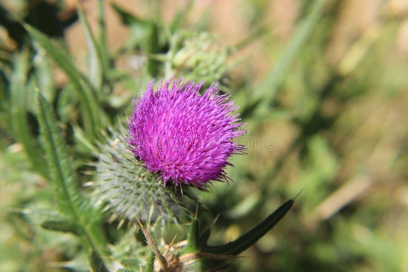 Flor púrpura del cardo de leche imagenes de archivo