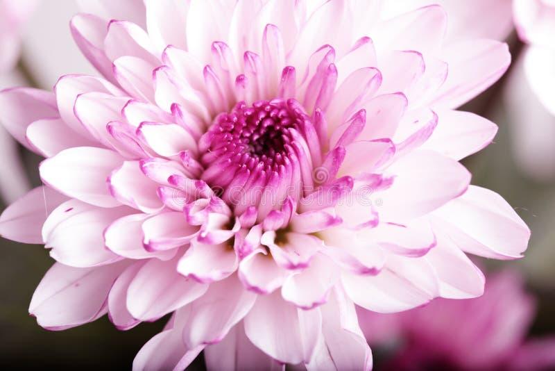 Flor púrpura del crisantemo foto de archivo libre de regalías