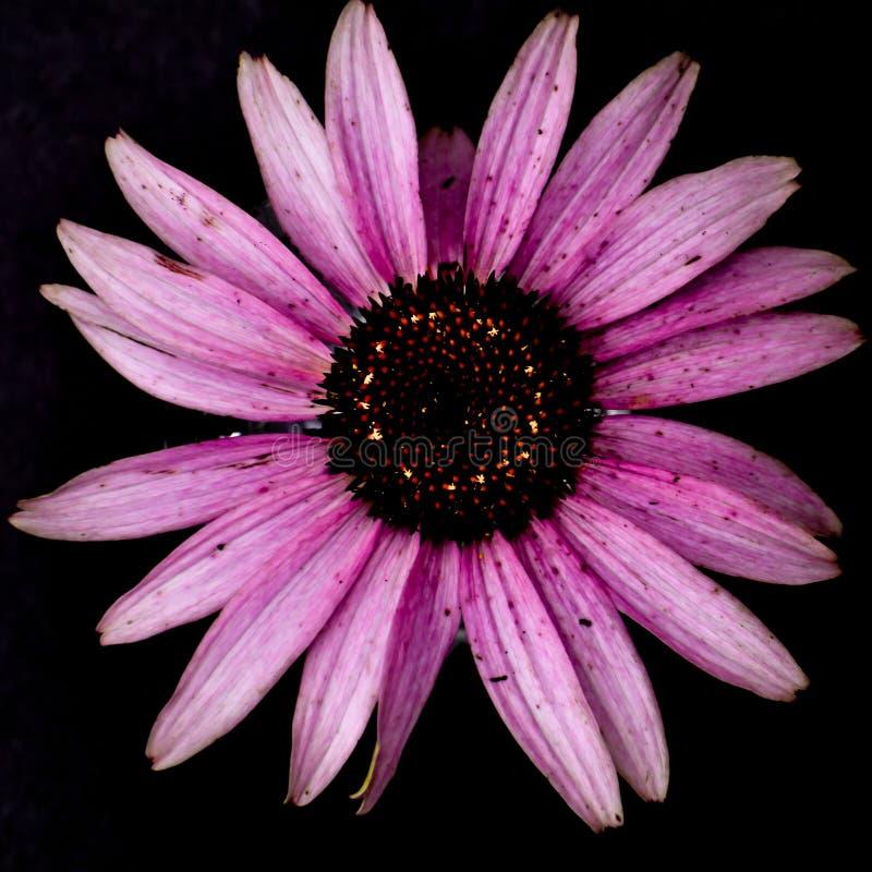Flor púrpura del Echinacea de Coneflower aislada en un fondo negro fotografía de archivo libre de regalías
