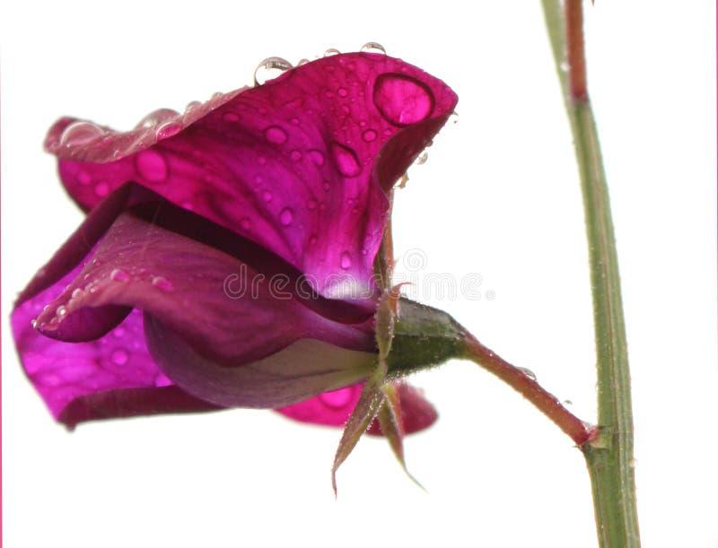 Flor púrpura del guisante de olor con las gotas de agua macras imagen de archivo