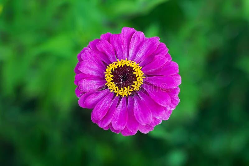 Flor púrpura del zinnia en fondo verde en un parque Primer del zinnia floreciente de las rosas fuertes fotos de archivo