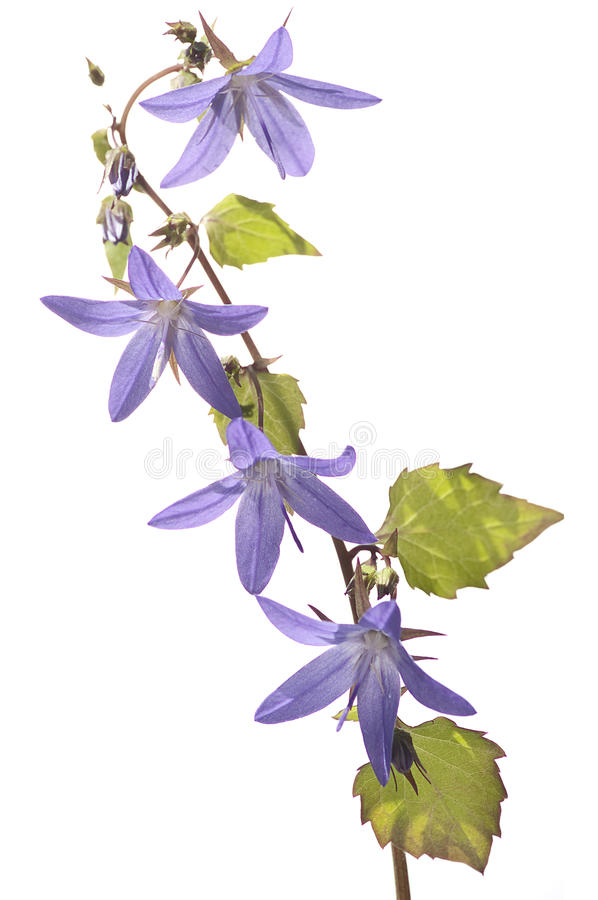 Flor púrpura en el fondo blanco fotos de archivo libres de regalías