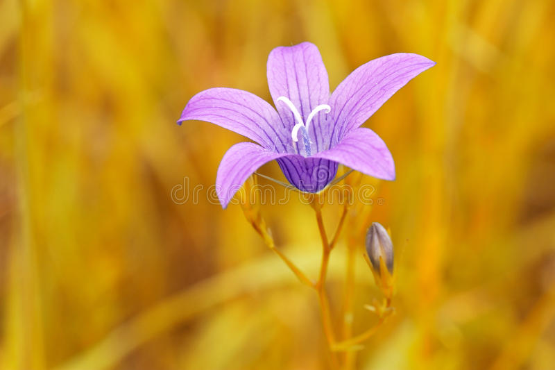 flor púrpura en fondo amarillo borroso fotos de archivo