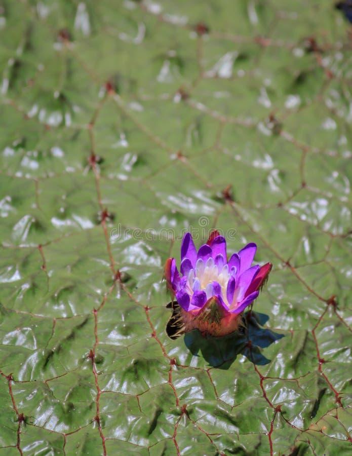 Flor púrpura en Gorgon Lily foto de archivo