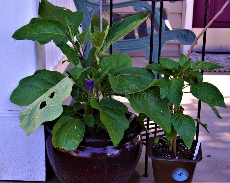 Flor p?rpura en la planta verde en el p?rtico fotografía de archivo