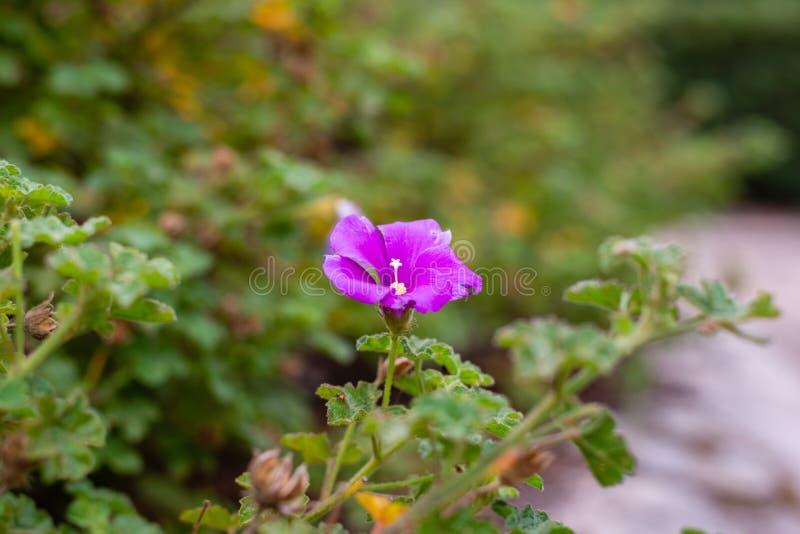 Flor púrpura en los jardines botánicos reales Cranbourne Victoria Australia imagenes de archivo