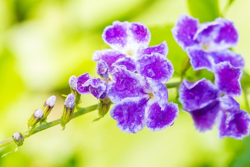 Flor púrpura, gota de rocío de oro, baya de paloma, flor del cielo (Duranta fotos de archivo libres de regalías