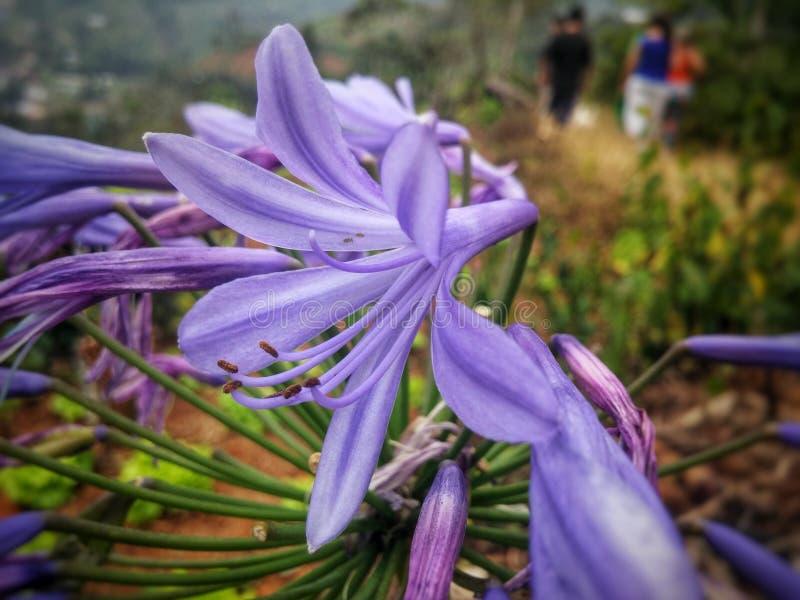 Flor púrpura grande con las anteras largas imagen de archivo