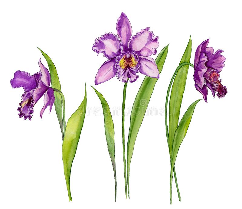 Flor púrpura hermosa de Cattleya de la orquídea en un tronco con las hojas verdes Aislado en el fondo blanco Sistema de tres flor ilustración del vector