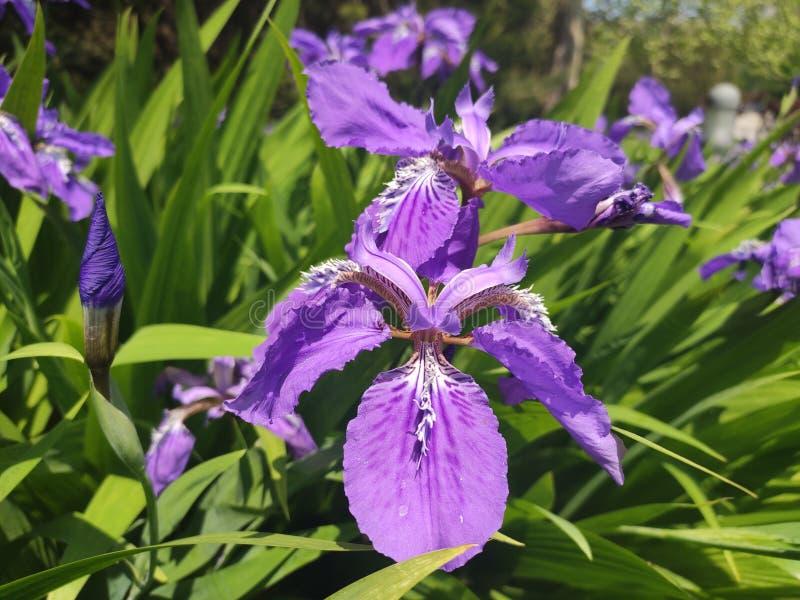 Flor púrpura hermosa en su plena floración durante la primavera magnífica foto de archivo