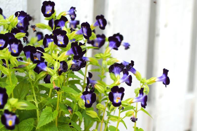 Flor púrpura oscura de la espoleta foto de archivo libre de regalías