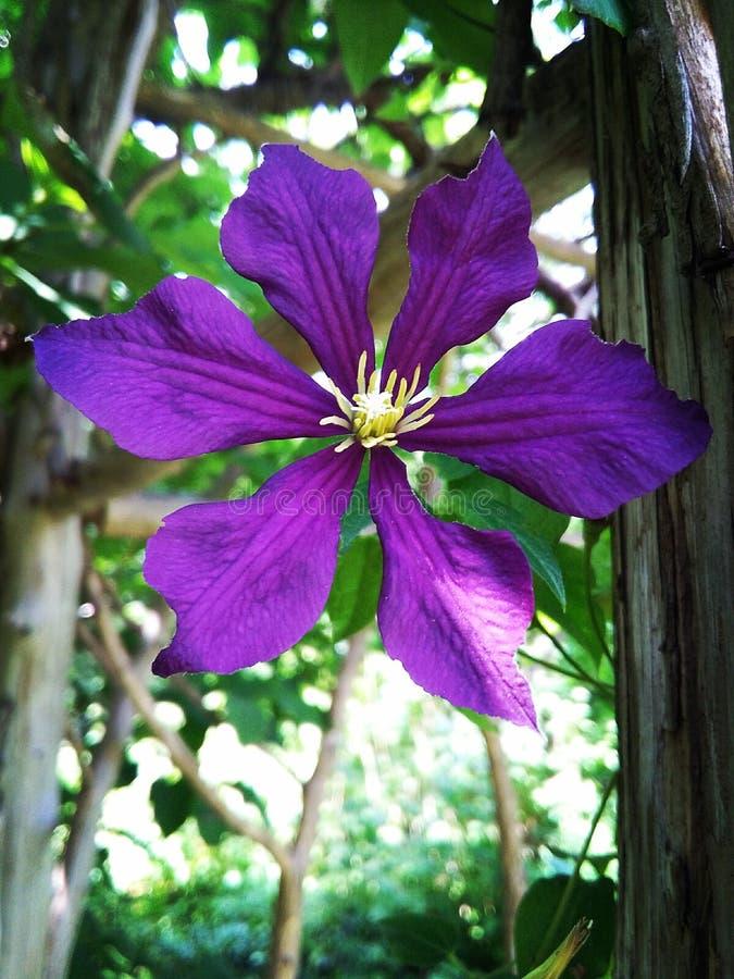 Flor púrpura oscura hermosa foto de archivo