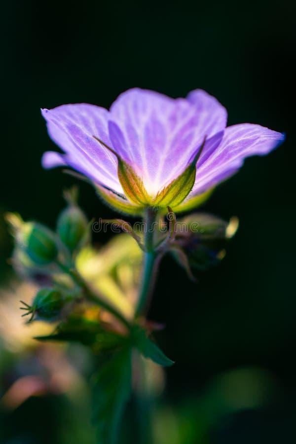 Flor púrpura retroiluminada foto de archivo libre de regalías