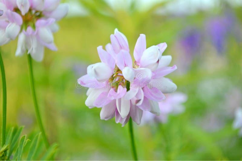 flor púrpura, trébol, trébol, trébol fotos de archivo