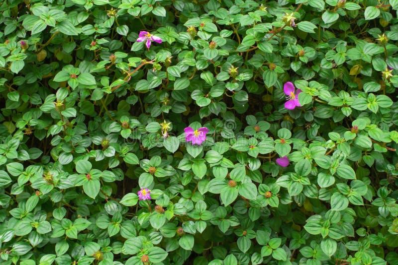 Flor púrpura y hojas verdes del mantón español imagen de archivo