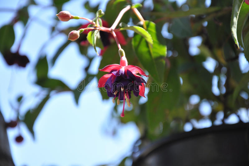 Flor púrpura y roja hermosa imagenes de archivo