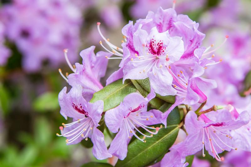 Flor púrpura y rosada de la floración imagenes de archivo