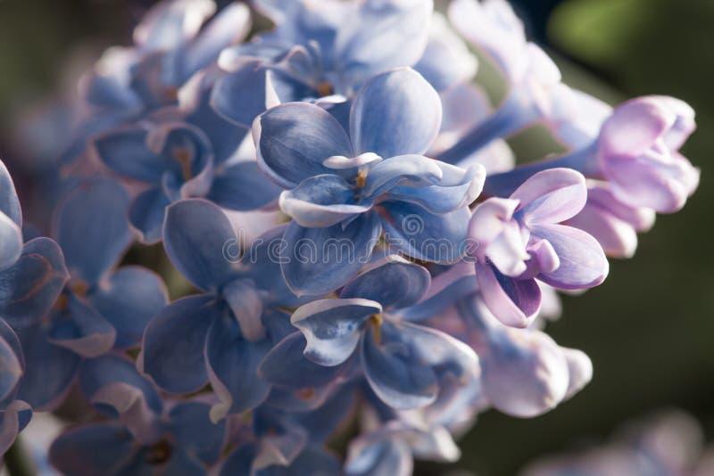 Flor p?rpura de la lila de la primavera del flor hermoso de la fragancia imagen de archivo libre de regalías