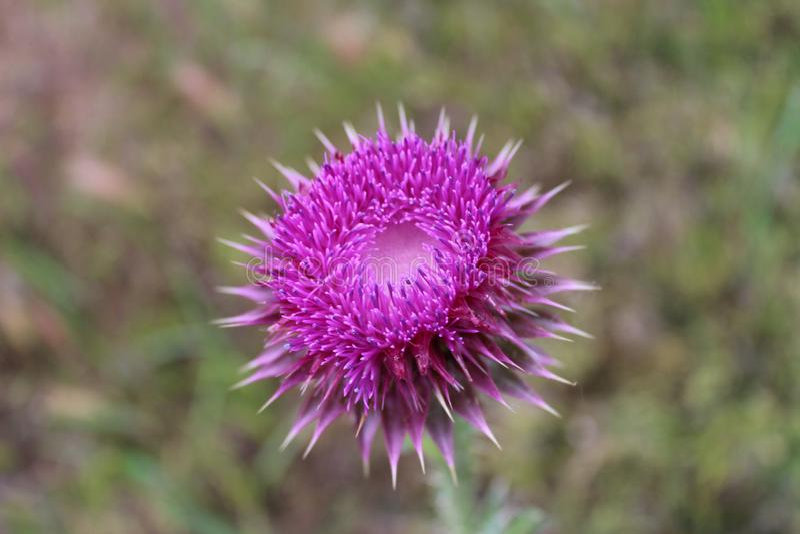 Flor p?rpura del cardo imagenes de archivo