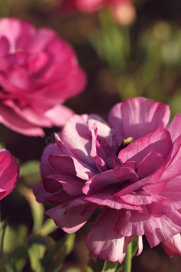 Flor p?rpura en el jard?n imagenes de archivo