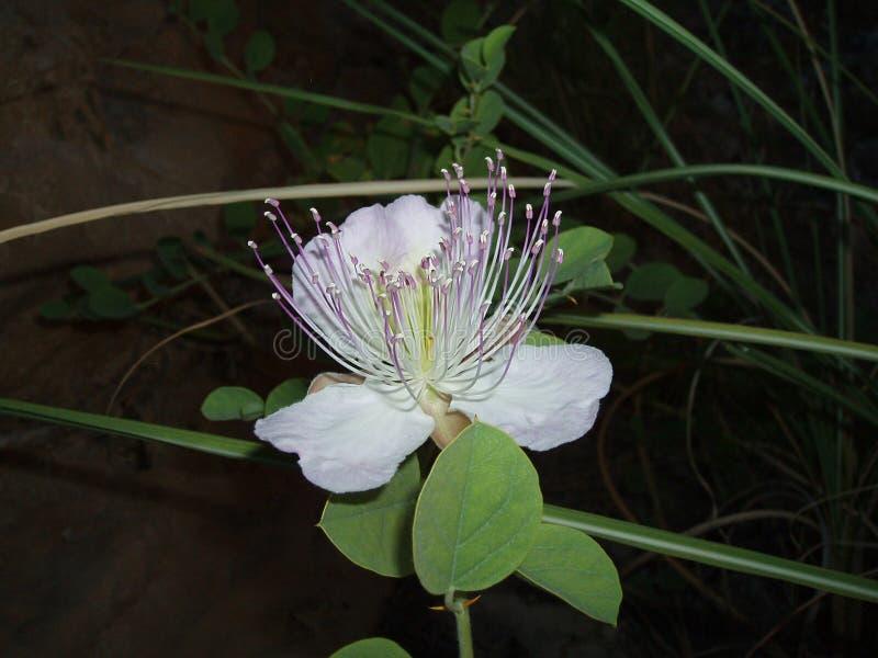 flor Pamukkale foto de archivo