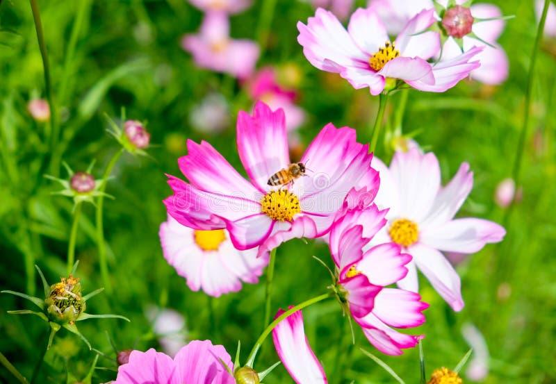 Flor pequena do cosmos do pólen da abelha fotografia de stock