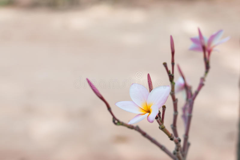 Flor pequena do Plumeria no jardim imagem de stock