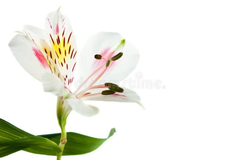 Flor pequena isolada foto de stock royalty free